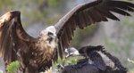 El Gobierno balear liberará este miércoles en la Sierra de Tramontana al buitre negro recuperado herido dos semanas