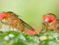 Drosophila birchii