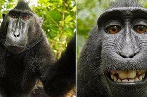 Foto: El selfie hecho por un macaco enfrenta a Wikimedia con un fotógrafo (MACACO SELFIE )