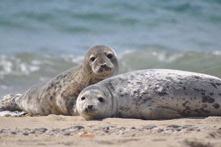 Foto: Focas y leones marinos pudieron propagar la tuberculosis a los humanos (U.S. FISH AND WILDLIFE SERVICE NORTHEAST REGION)