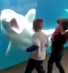 Juno, la ballena beluga que interactúa con los visitantes