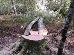 Foto: Ecologistas denuncian nueva tala de hayas en el Parque Saja-Besaya (CONSERVACIONISTAS DEL PARQUE SAJA-BESAYA)