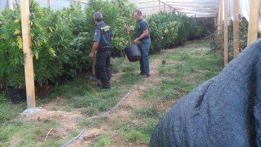 Foto: Detenido un individuo por 300 plantas de marihuana en Trasmiras (GUARDIA CIVIL)