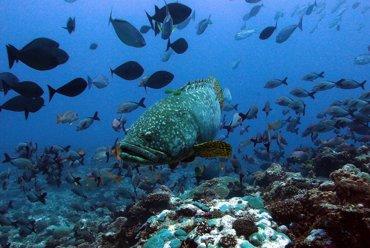Foto: Peces especializados hacen de médicos para los arrecifes de coral (P. CHABANET)