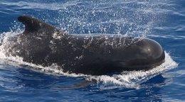 Foto: WWF aplaude el aumento de los controles sobre la caza de ballenas en el futuro (NOAA)