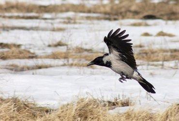 Foto: Los cuervos piensan, y se unen al club de humanos y primates ( LOMONOSOV MOSCOW )