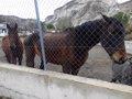 INCAUTADOS VARIOS BURROS Y CABALLOS EN FONELAS POR MALTRATO ANIMAL