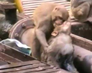 Un mono rescata a otro mono electrocutado