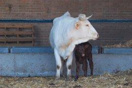 Foto: Madres de alquiler en la cabaña bovina extremeña (GOBEX)