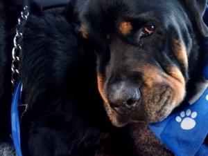 Brutus, el rottweiler que llora la muerte de su hermano
