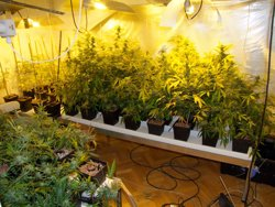 Foto: Successos.- Detenen un home a Balaguer amb més de 2.500 plantes de marihuana (MOSSOS D'ESQUADRA)