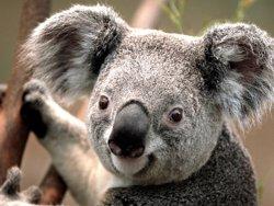 Foto: Austràlia sacrifica més de 600 coales (EUROPA PRESS)