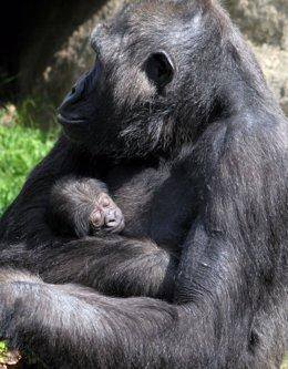 Foto: Nace una cría de gorila en el Zoo de Barcelona (ZOO DE BARCELONA)