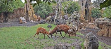 Foto: Un bongo oriental de Bioparc ayudará a salvar la extinción de la especie (BIOPARC)