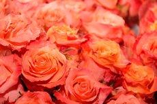 Foto: Sis milions de roses per Sant Jordi a Catalunya (EUROPA PRESS)