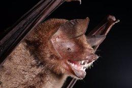 Foto: Los murciélagos usan el cerebro como los humanos para procesar sonidos (ALEX BORISENKO, BIODIVERSITY INSTITUTE OF ONTARIO )