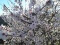 La flor de almendro se adelanta casi 20 días por el otoño y diciembre más cálidos de lo normal