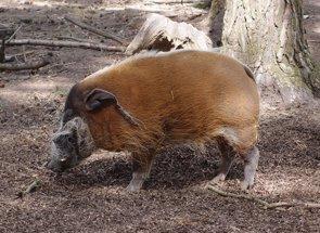 Una dieta 'trampa' consigue bajar el colesterol 'malo' en cerdos (PIXABAY)