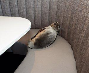 León marino encontrado en un restaurante de San Diego