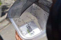 Un estudi determina que un bacteri dificulta que els mosquits transmetin el Zika (GUTEMBERG BRITO IOC FIOCRUZ)