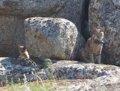Confirmadas dos nuevas camadas de linces en los Montes de Toledo