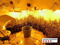 Tres detinguts i 2.271 plantes de marihuana localitzades en dues operacions a Girona (MOSSOS D'ESQUADRA)
