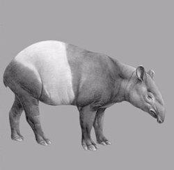 Troben l'esquelet d'un tapir de fa tres milions d'anys a Caldes de Malavella (IPHES)