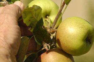 La manzana, el mejor aliado para tu salud digestiva