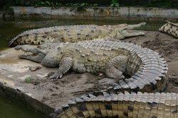 Una dona desapareguda a Austràlia després de ser atacada per un cocodril mentre es banyava (WIKIMEDIA)