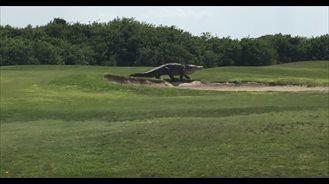 Caimán gigante en un campo de golf