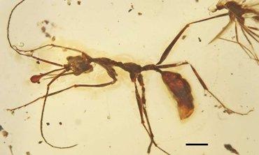 Evidencias de hormigas depredadoras solitarias en el Cretácico (WANG BO )