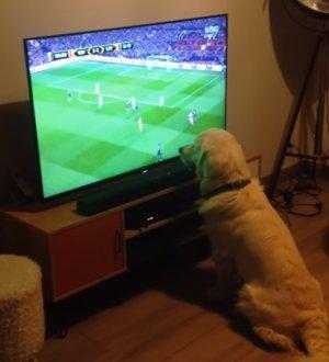 Perro concentrado viendo fútbol