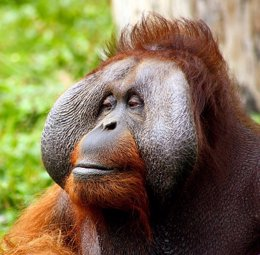 El control de voz en el orangután da pistas al origen del habla humana (CC0 PUBLIC DOMAIN )