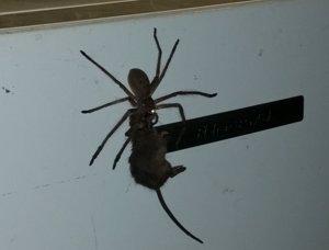 Una araña arrastrando un ratón por un frigorífico ha hecho gritar de terror Inte