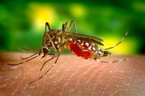 Crean mosquitos resistentes al virus del dengue (JAMES GATHANY/WIKIMEDIA COMMONS)