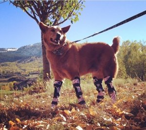 Nakio, el perro que tiene cuatro piernas ortopédicas