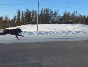 Dos lobos corren por una autopista por Canadá