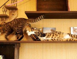 Gato arrastrando a otro