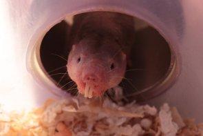 ¿Por qué los científicos están tan interesados en la rata topo desnuda? (ROLAND GOCKEL / MDC)
